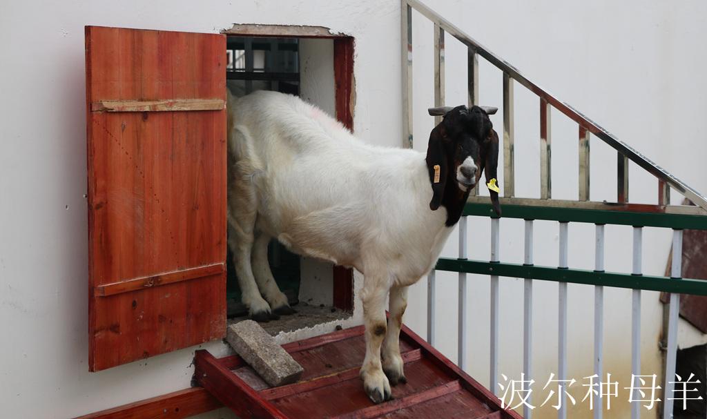 波尔山羊种母羊
