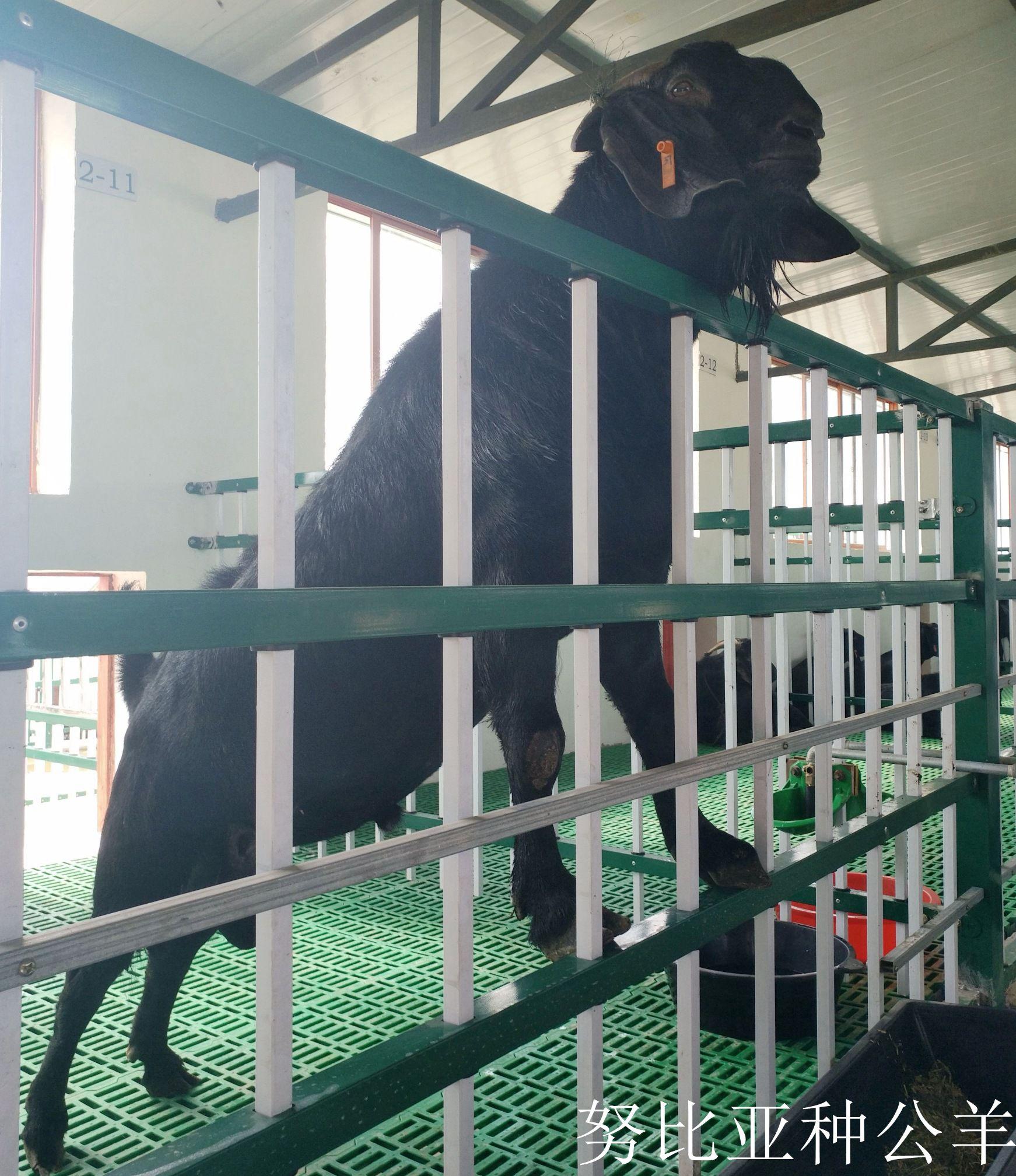 努比亚黑山羊种公羊
